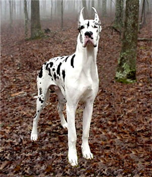 Great Dane Puppies for Sale Southern United States