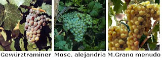 Uvas+Vi%C3%B1a+Esmeralda.bmp
