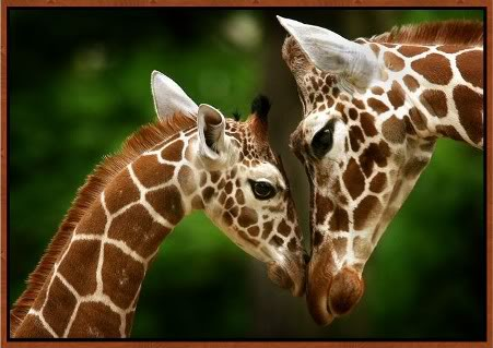 cute newborn baby giraffe pictures