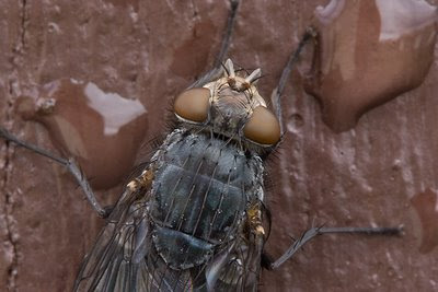 Blowfly, Pohangina Valley