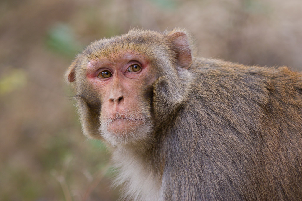 The Ruins of the Moment: Rhesus macaque at Rishikesh — Photos by ...