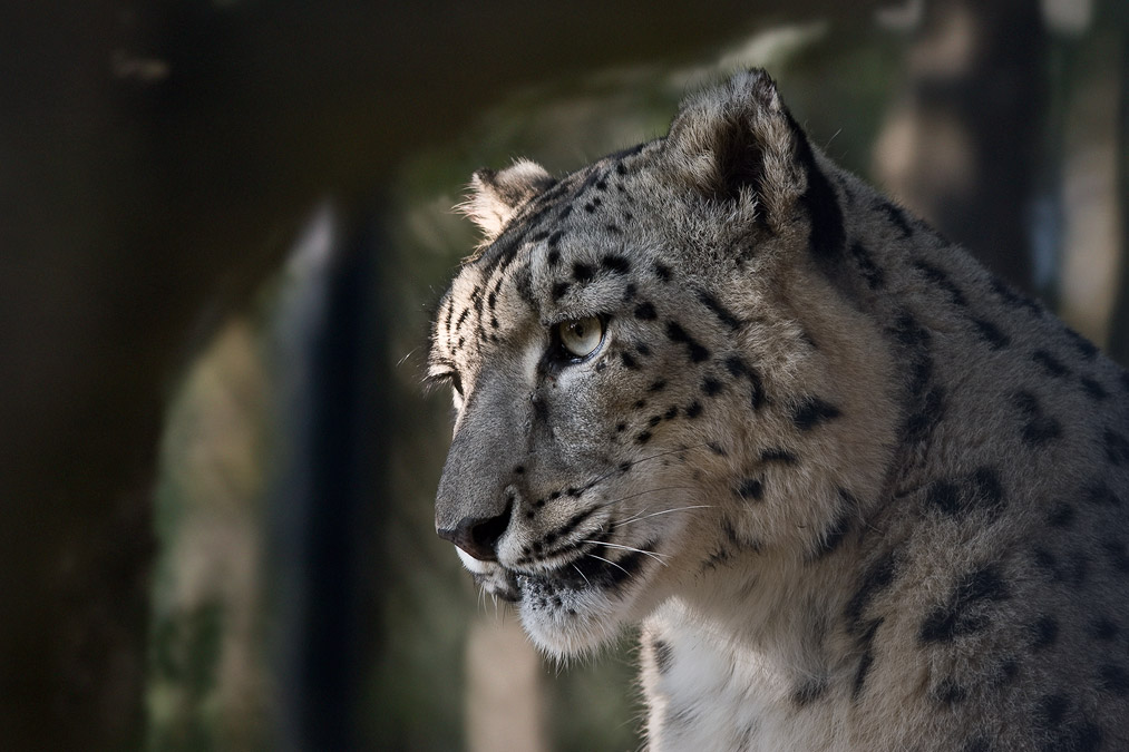 Snow leopard face side - photo#4