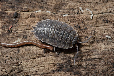 Porcellio scaber