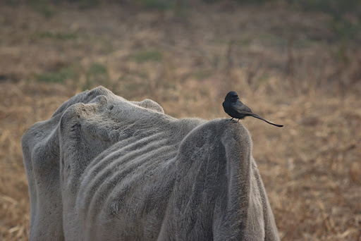 Cow and drongo at Keoladeo Ghana NP