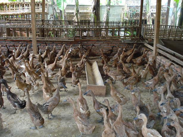 6 Jenis Bebek Petelur Ungulan Terbaiik Untuk Dibudidayakan
