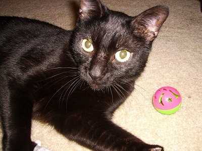 pictures of Bombay cat