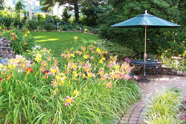 Daylilies in bloom