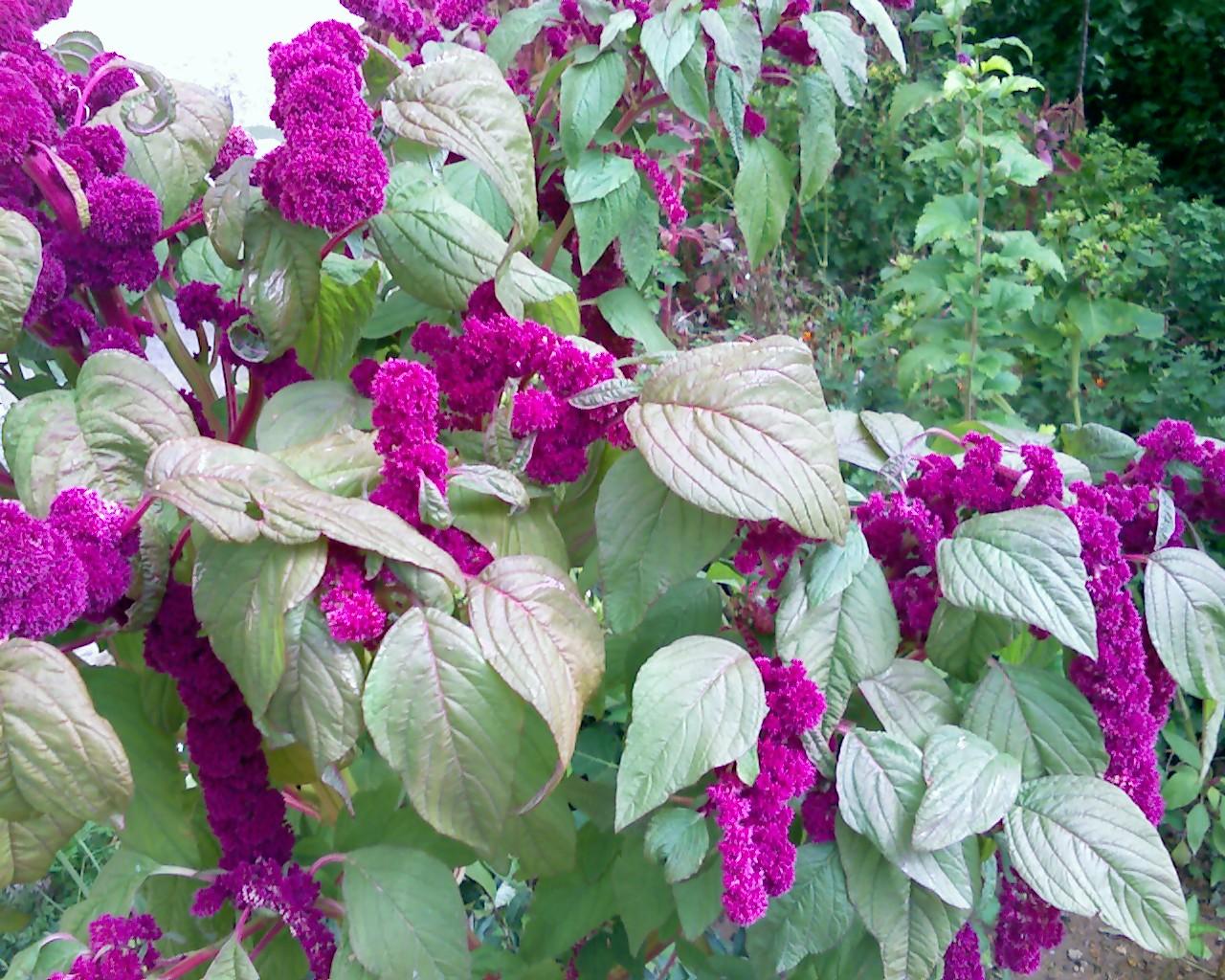 Цветы амаранты посадка и уход