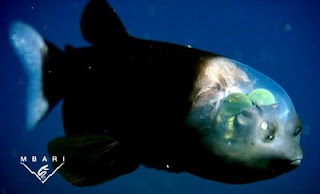 ikan tubuh transparan foto