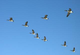 http://3.bp.blogspot.com/_at8tCsahqzw/SK3afKnPw1I/AAAAAAAABYw/-M350ziNCEY/s320/geese1.jpg