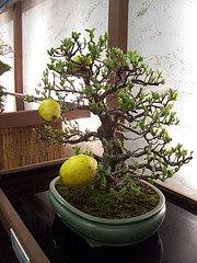 Бонсай - лимонное дерево
