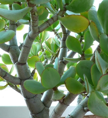 Денежное дерево толстянка лечебные свойства и