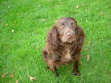 Podge - Working cocker spaniel