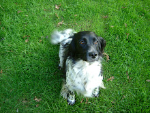 Jazzie - Springer Spaniel (rescue)