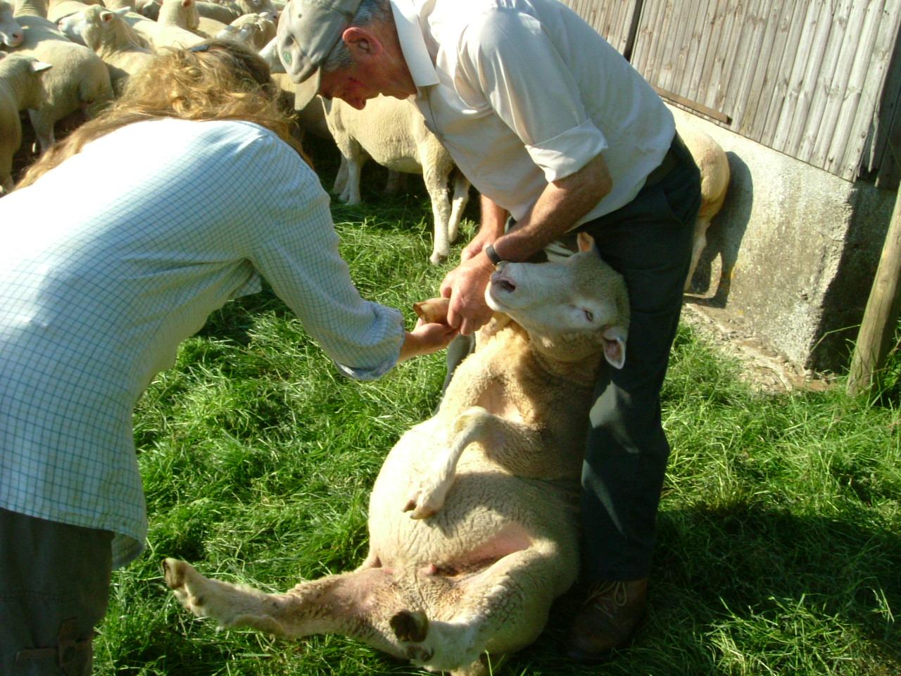 quick sheep anatomy lesson