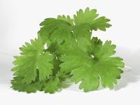 stock image - cilantro