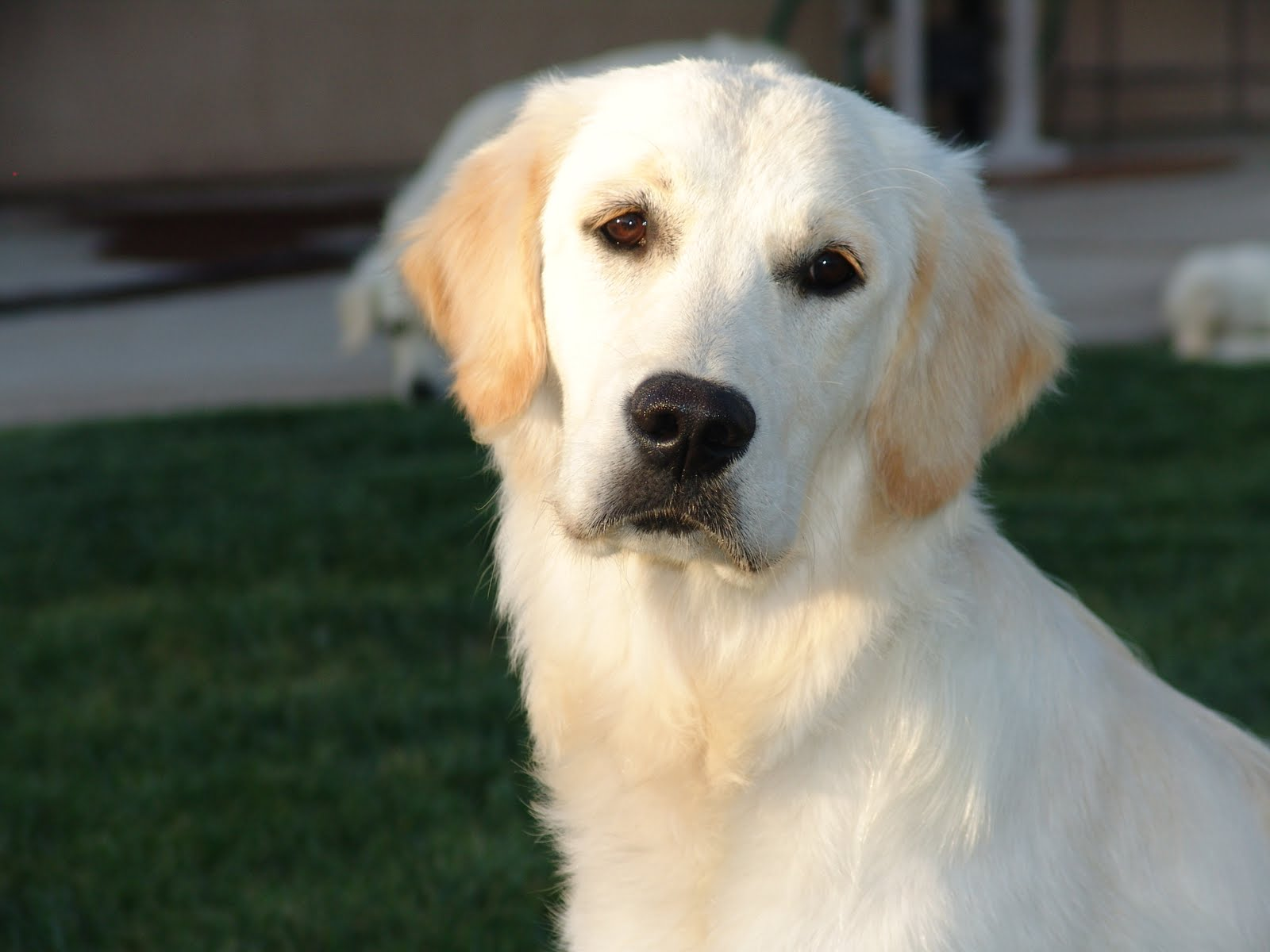 All About Golden Retrievers!: March 2013