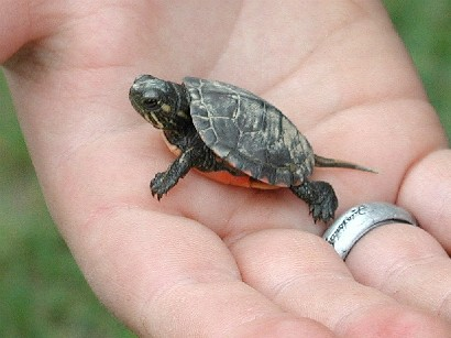 Animal Care: Baby Turtles