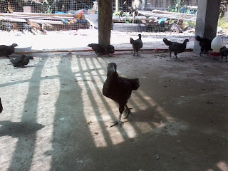 ไก่ดำ