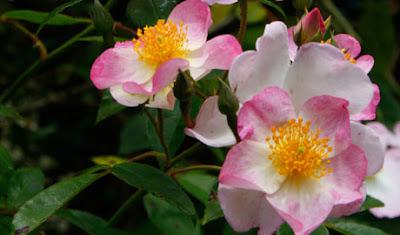 rosier rose kew rambler