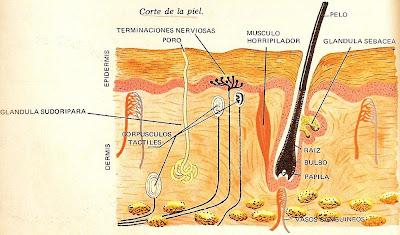 Corte de la piel