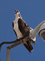 Osprey - Ras Al Hadd