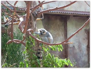 Los famosos y queridos Lemures