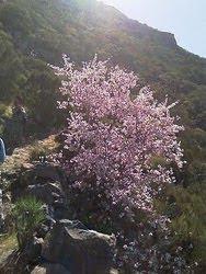 Sentier des amandiers en fleur
