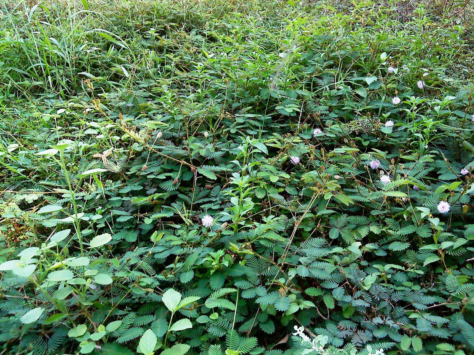 http://3.bp.blogspot.com/_bBqysXGhPys/S7Fj634ItVI/AAAAAAAABlU/VsB9xOiu31I/s1600/mimosa%2Bin%2Bcommunity.JPG