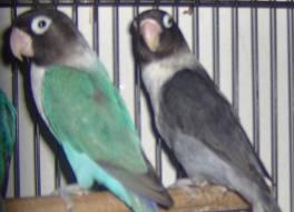 Burung Lovebird dan Jenis Burung Lovebird | Cara Budida