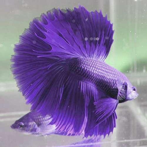 gambar hewan - foto ikan cupang