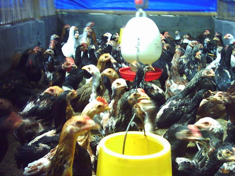 Peluang Usaha Budidaya / Ternak Ayam Kampung