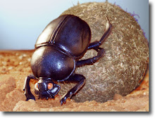 Dung Beetle & Dung Ball As Metaphor of Man & His Consciousness