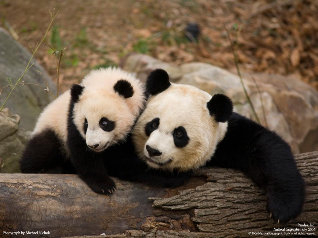 Imagenes De Ositos Panda - Oso Panda Imágenes gratis en Pixabay