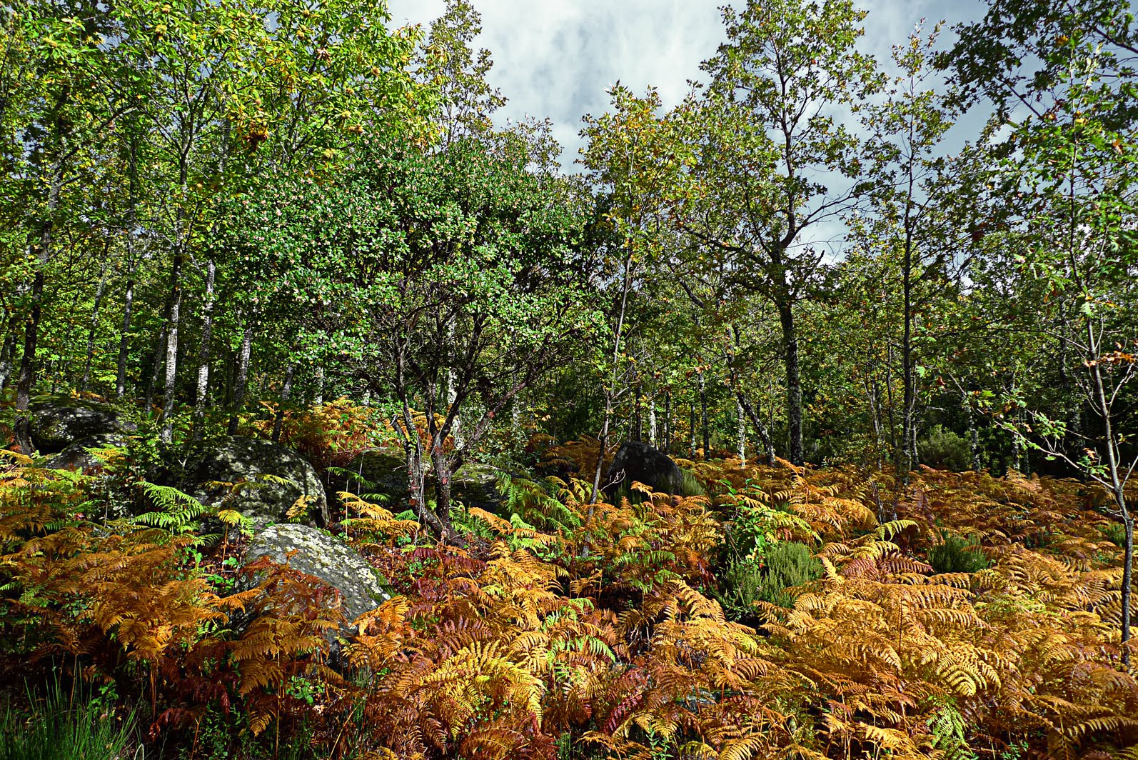 Valle de valverde lgf rboles de hoja caduca for Arboles jardin hoja perenne