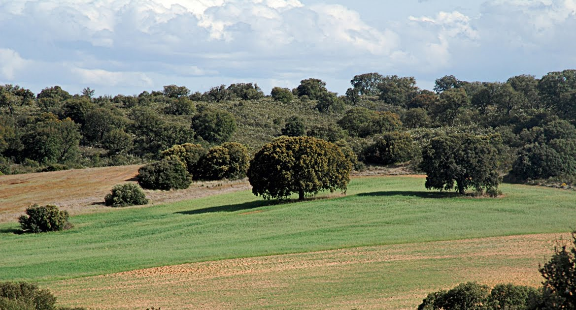 Valle de valverde lgf rboles de hoja perenne for Arboles de hoja perenne en madrid