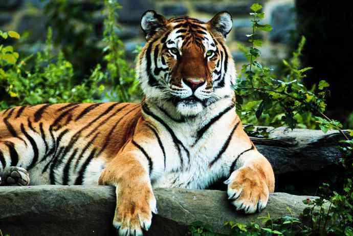 royal bengol tiger