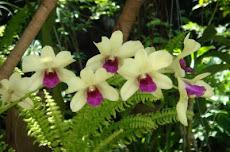 Dendrobium 石斗兰