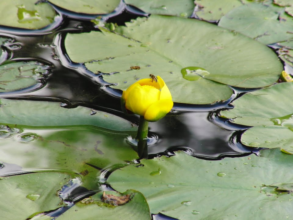 Lily Pad Flower Template