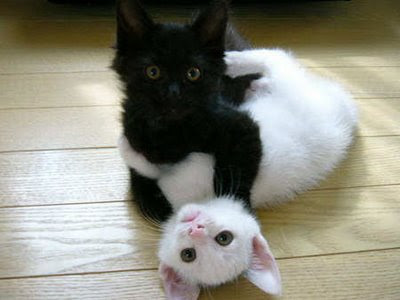 picture of black cat on white cat