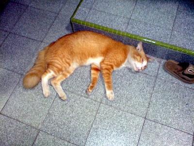 shaw the orange cat