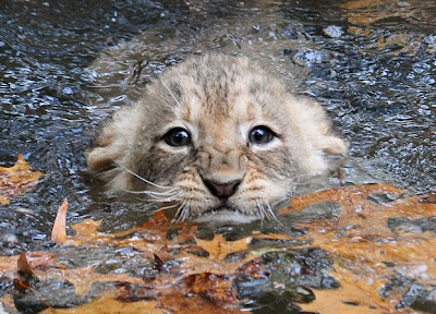 lion cub at Smithsonian Zoo