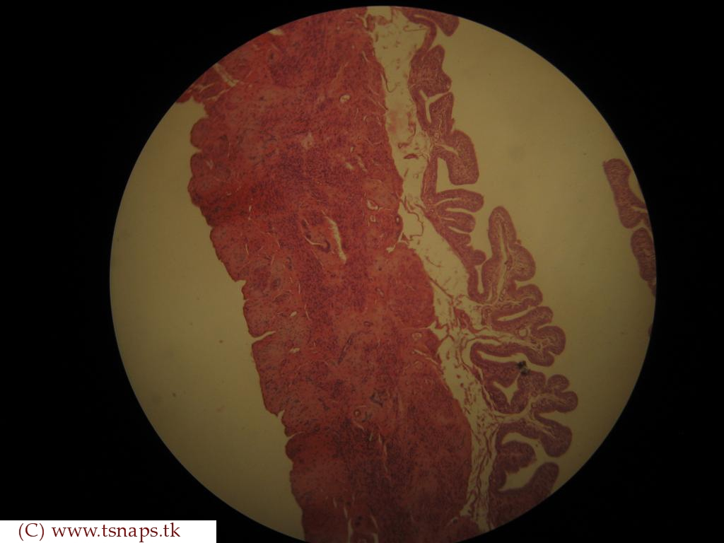 Uterine Tube Slide Histology Slide...