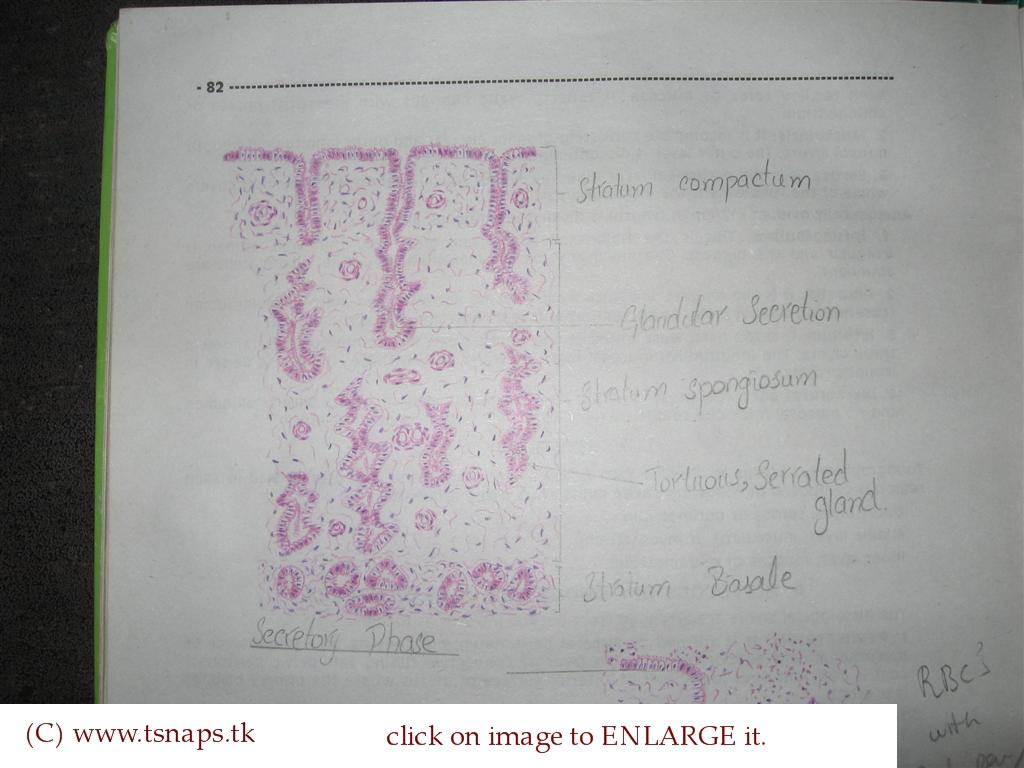 Histology slides database histological diagram of uterus in histological diagram of uterus in secretory phase ccuart Images