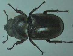 Allotopus moseri