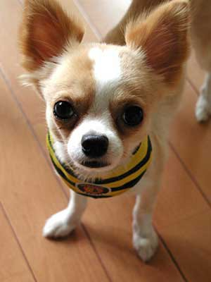 Enjoy these adorably cute pictures of the Chihuahua dog