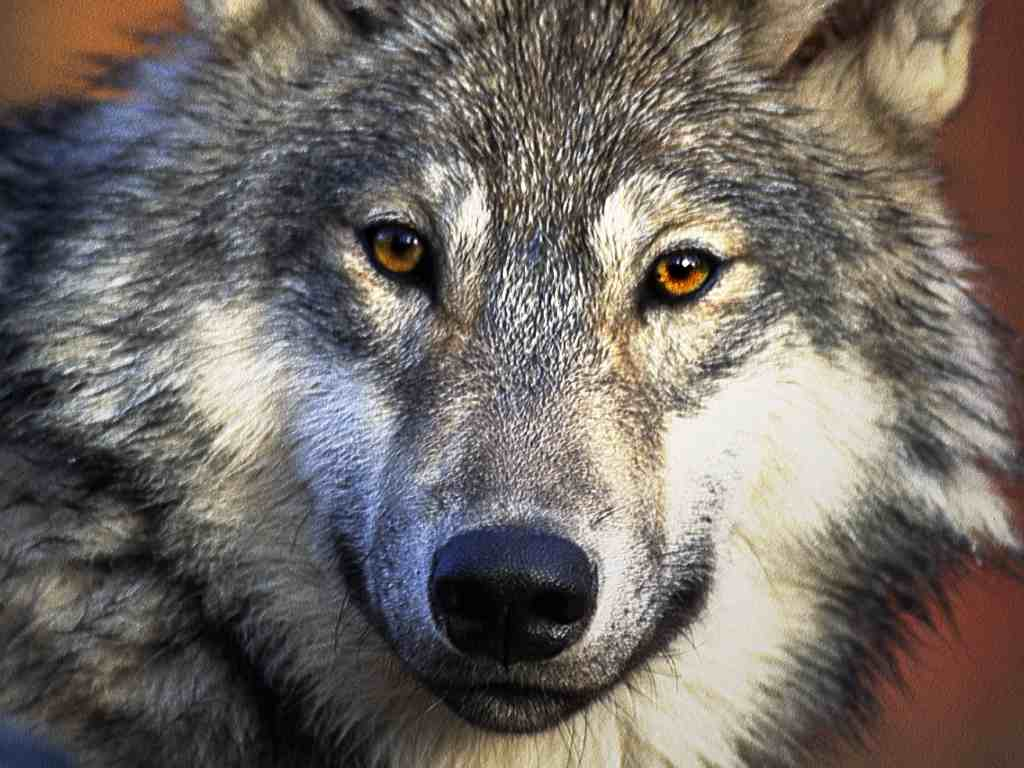 cool hd wallpapers wolf wallpapers