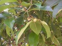 Khasiat Pokok Bunga Tanjung