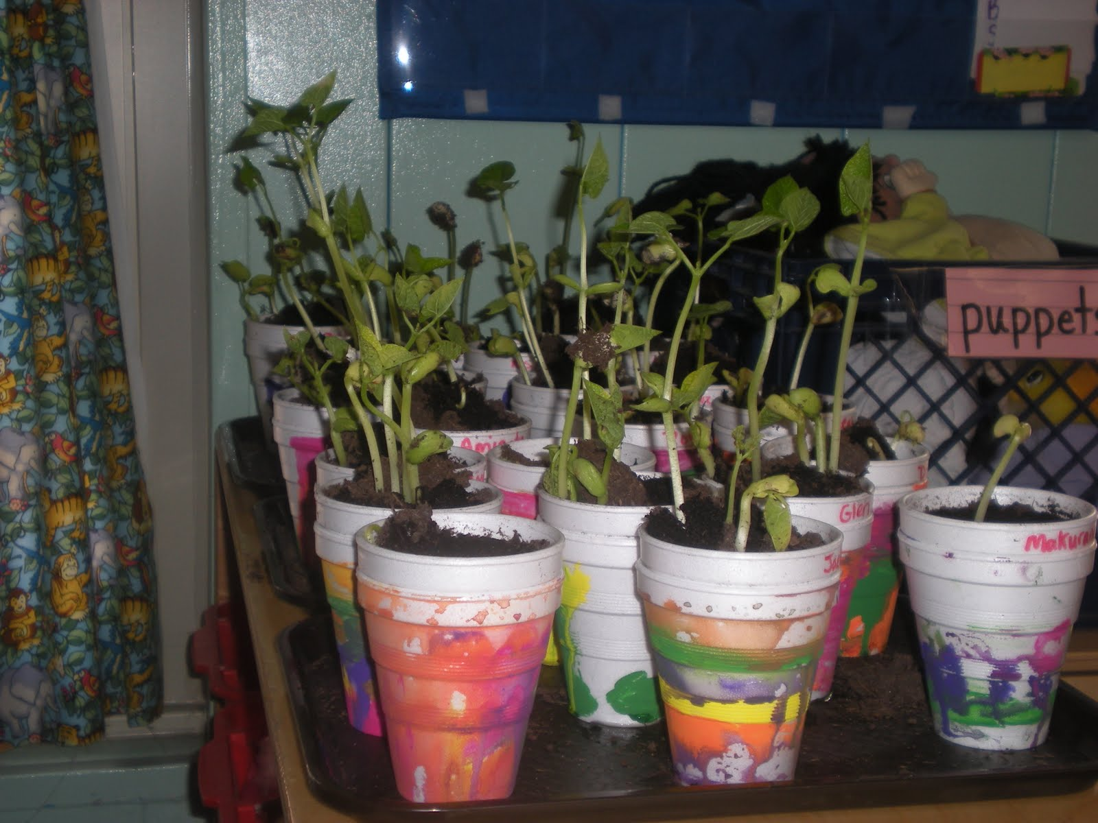how to grow lima beans in a cup