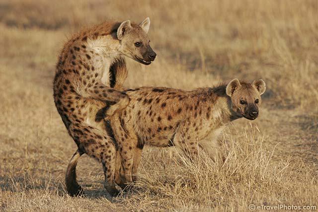 Animals Doing It: Hyenas Do It Too